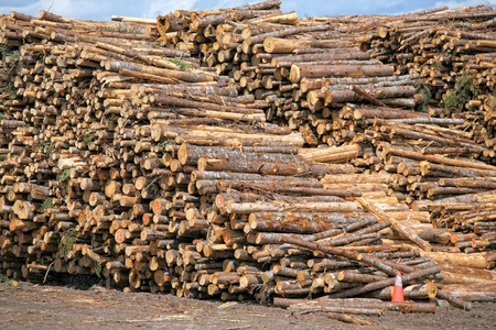 Piles of spruce logs waiting to be processed at a pulp and paper mill.