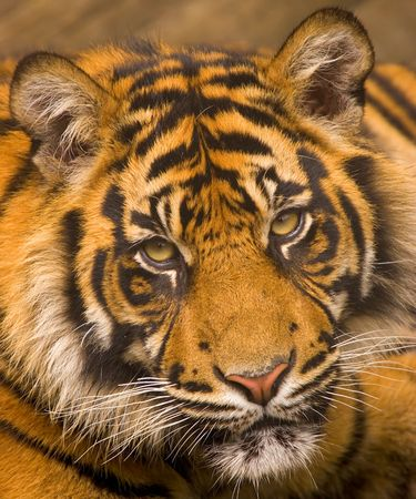 This young Sumatran Tiger was photographed at a UK zoo.