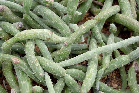 Arid plants - ASTERACEAE , Senecio pendulus Forssk. Sch. Bip.