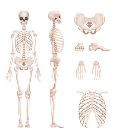 Illustration pour Vector illustration of human skeleton in different sides. Bones of arms, legs. Skull - image libre de droit