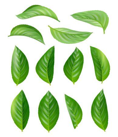Illustration pour Green tea leaves. Eco natural plants aromatic hot drink vector leaves realistic pictures set. Illustration tea drink, leaf plant herbal - image libre de droit