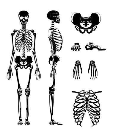 Illustration pour Vector silhouette of human skeleton. Anatomy pictures. Different bones - image libre de droit
