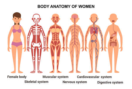 Illustration pour Anatomy of the female body. Skeletal and muscular system, nervous and circulatory system, human digestive system. Vector illustration - image libre de droit