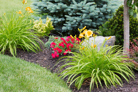 Flowering yellow tiger lilies in a newly landscaped ornamental flowerbed with colorful red flowers and evergreen trees
