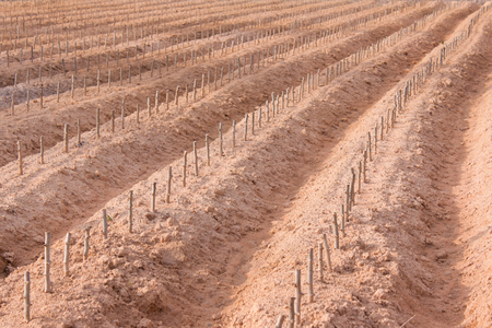 start cultivation Cassava or manioc plant field at Thailand