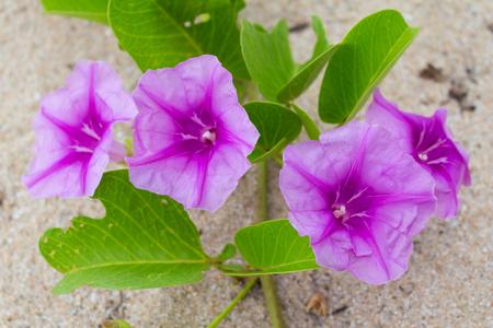 Beach Morning Glory leaves in wind Ipomoea pes-caprae