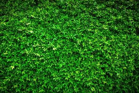 Green leaf background vignette or the naturally walls texture Ideal for use in the design fairly.