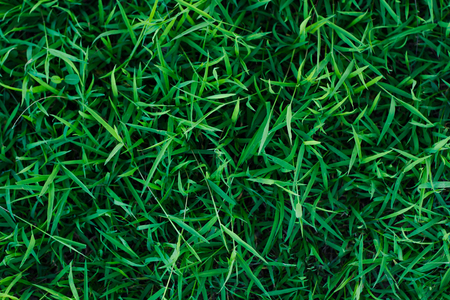 Green grass background or the green nature floor texture Ideal for use in the design fairly.