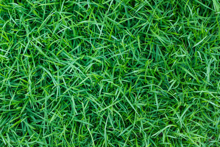Green grass texture background or the naturally walls texture Ideal for use in the design fairly.
