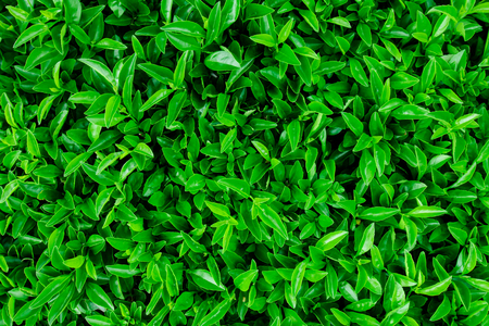 Green leaves wall background Ideal for use in the design fairly.