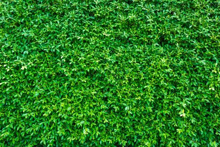 Photo pour Green leaves background  or the naturally walls texture Ideal for use in the design fairly. - image libre de droit