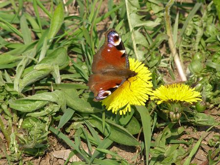 The first butterfly in the spring