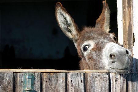 Cute Donkey look out his Stable