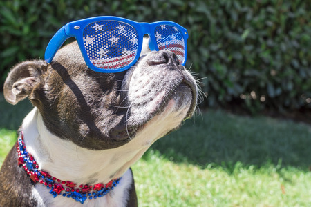 Cute Boston Terrier Dog Wearing Fourth of July Stars and Stripes Sunglasses a