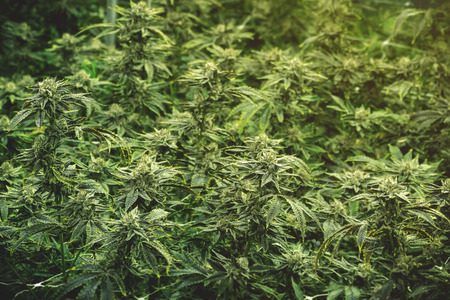 Texture wallpaper of marijuana growing operation indoor warehouse with space for titling