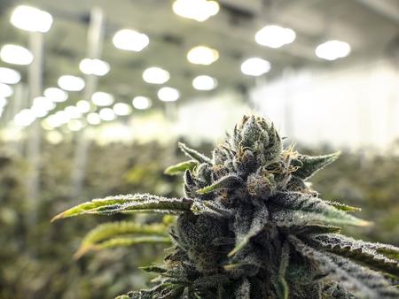 Foto de Indoor marijauna facility growing sea of cannabis plants in the background with texture nug in the foreground - Imagen libre de derechos