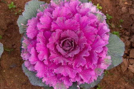 Flowering purple cabbage