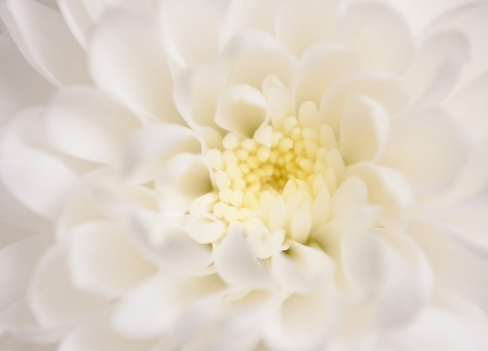 close up of precious white chrysanthemum