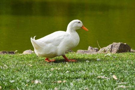 White duck is walking on grass, near the lake.