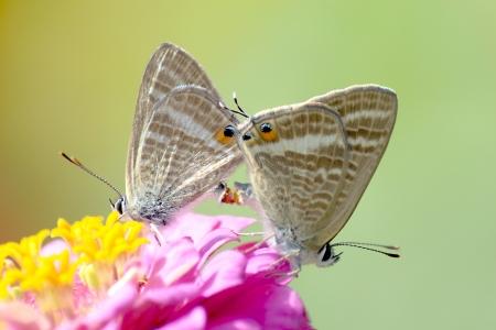 Foto per Farfalle Cassius Blue  che si accoppiano - Immagine Royalty Free