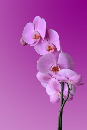 Foto per Orchidea viola su fondo fucsia - Immagine Royalty Free