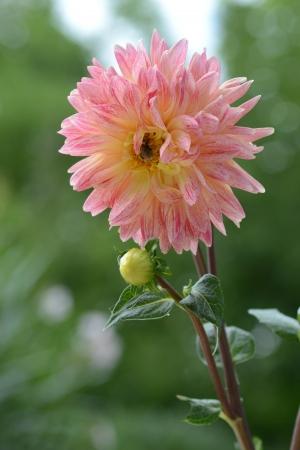 Foto per Dalia with bee - Immagine Royalty Free