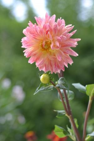 Foto per Dalia pink and yellow - Immagine Royalty Free