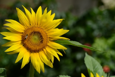 Foto per Close-up of a sunflower in the garden with bee - Immagine Royalty Free