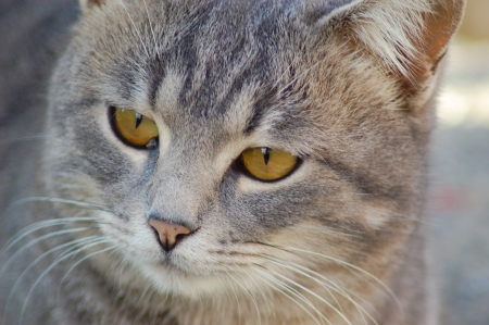 Close up of a beautiful gray kitten