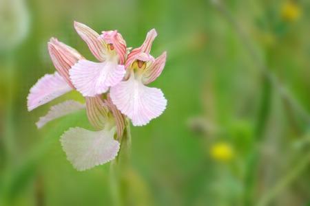 Anacamptis papilionacea grandiflora