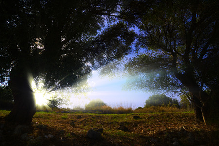 olive trees backlit