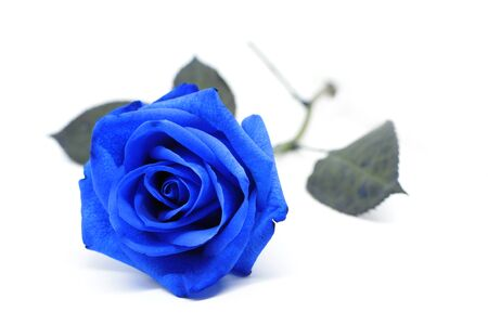 Foto per blue rose on a white background - Immagine Royalty Free