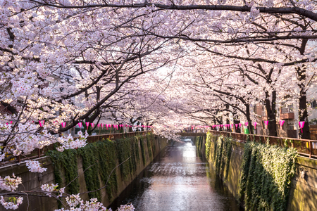Photo for Cherry blossom lined Meguro Canal in Tokyo, Japan. - Royalty Free Image