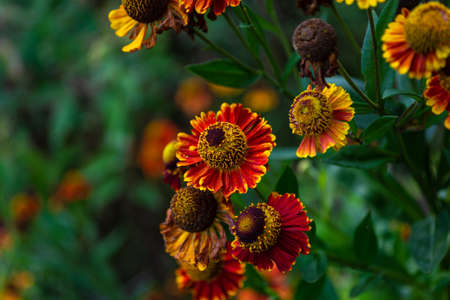 Multicolored autumn flowers marigolds on a bright blurred floral background. Selective focus.の素材 [FY310164660945]