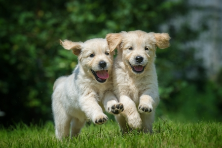 Two running and smiling puppy of golden retriever