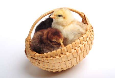 Three chicks standing in a basket, close up