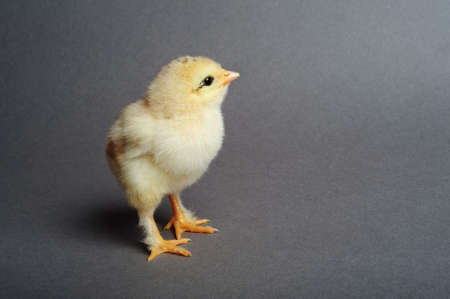 Close up of newborn chick standing on grey background
