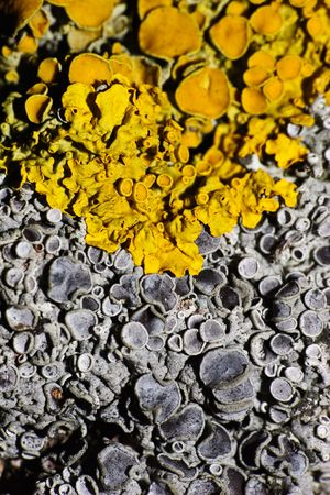 Yellow and grey lichens grow together. An original natural background