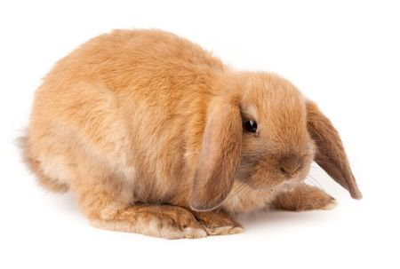 Miniature Lop, rabbit. It is cut out on a white background..