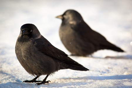 The Jackdaw (Corvus monedula), sometimes known as the Eurasian Jackdaw, European Jackdaw, Western Jackdaw, or formerly simply the daw, is a dark-plumaged passerine bird in the crow family.
