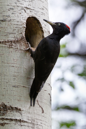 Dryocopus martius. The nest (hole) of the Black Woodpecker in nature. ??????. Russia,  Moscow.