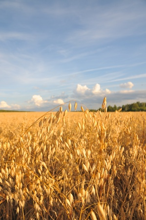 The field of golden oats. Barley field. Cereals against the blue sky.