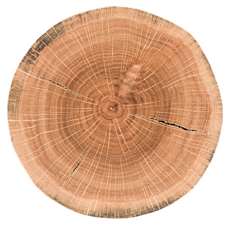 Foto per Oak tree slice. Wood slab with annual rings and cracks isolated on white background closeup - Immagine Royalty Free