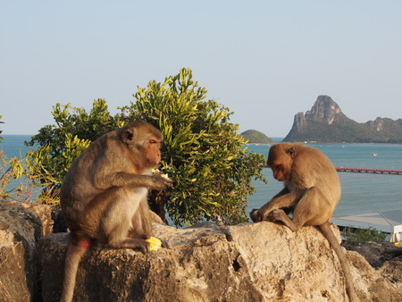 Two macaque monkey relaxing on the rock.