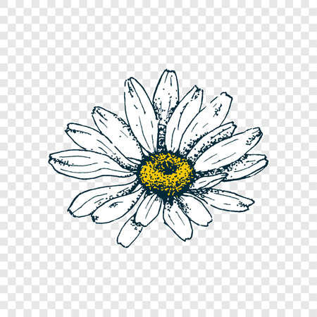 Illustration pour Isolated cute daisy head flower. Hand draw chamomile. Yellow white floral marquerite in simple flat style on transparent background. Vector printable Illustration - image libre de droit