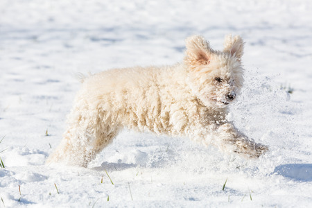 Small white poodle, called Annie, playing in the snow.