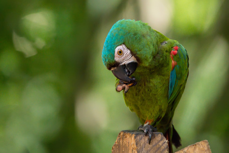 Chestnut-fronted or severe macaw