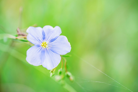 Photo pour Close up beautiful blue flower of flax blooming in field - image libre de droit