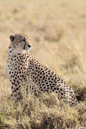 Photo pour   Cheetah n the  Masai Marra reserve in Kenya Africa - image libre de droit