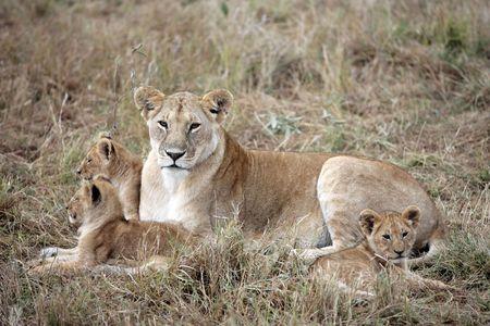 Photo pour female Lion and lion cub in the Masai Marra reserve in Kenya Africa - image libre de droit